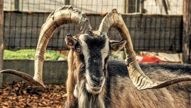 una cabra con grandes y fuertes cuernos