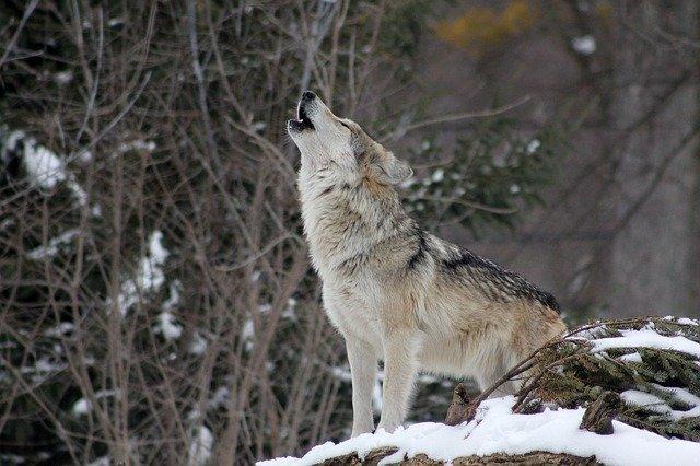 lobo ahuyando al cielo, predecesor de los perros como animales domésticos