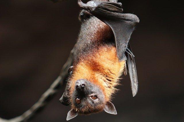 murciélago vampiro mirando de frente