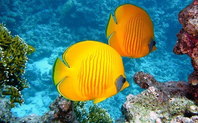 especies de peces amarillos marinos