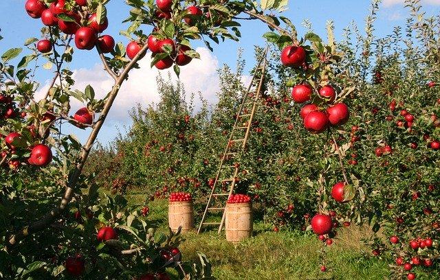 árbol de manzanas con una escalera y sacos llenos de manzanas
