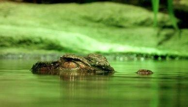 caimán nadando en un estanco