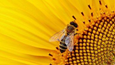 abeja encima de una flor amarilla