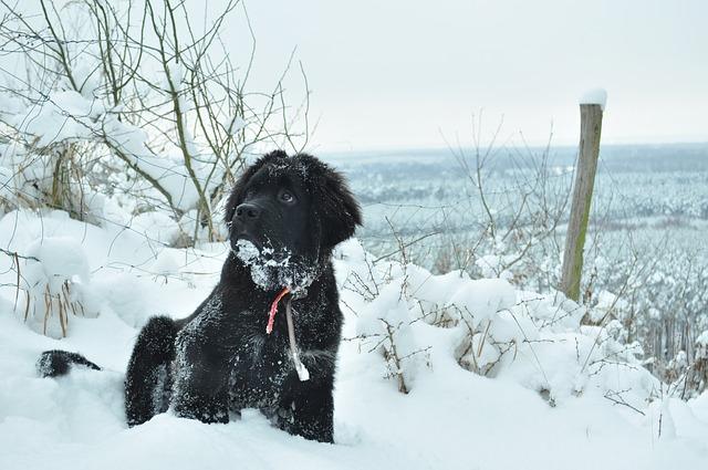 un ejemplo de perros terranova en medio de la nieve