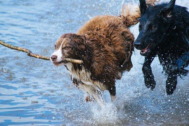 perros jugando con un palo
