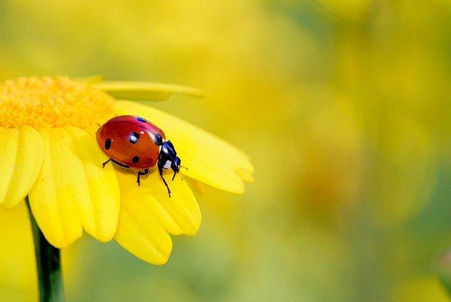 las mariquitas exterminan algunas de las plagas de insectos en un huerto o jardín