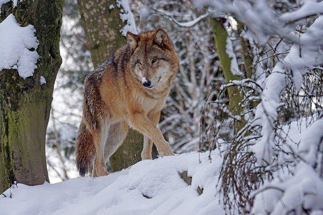 lobo andando en la nieve