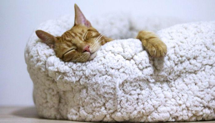 gato que necesita su cama para dormir en ella y así ser feliz