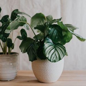Calatheas: plantas de interior que no necesitan luz