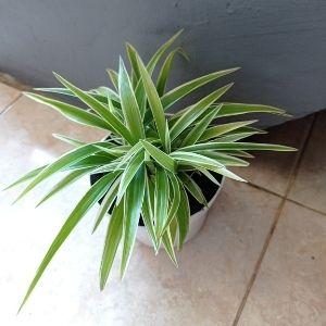 Imagen de una Chlorophytum comosum