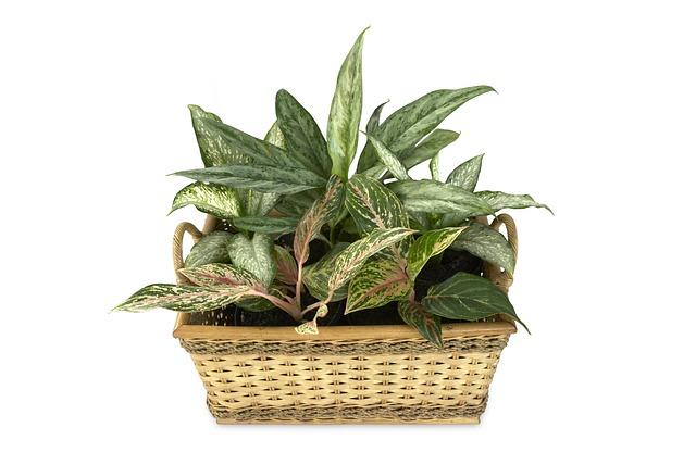 Dieffenbachias: plantas de interior que no necesitan luz