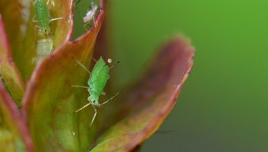 insectos que producen plagas