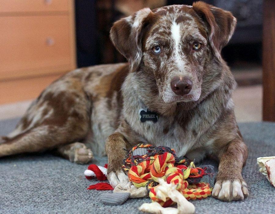 perro que necesita sus juguetes para jugar y estar bien